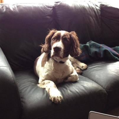 Scooby the English Springer Spaniel