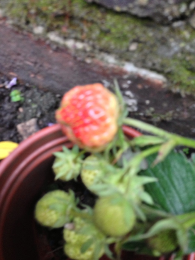 First strawberry of the season!
