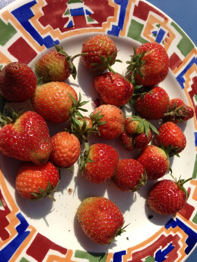 Daily Strawberry pickings down on the urban farm.