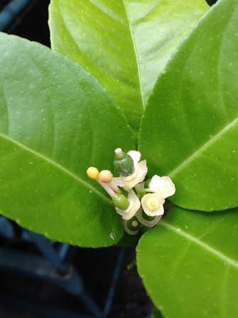 'Baby' lemons forming in the flowers