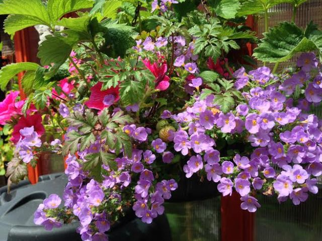 Hanging baskets to attract bees