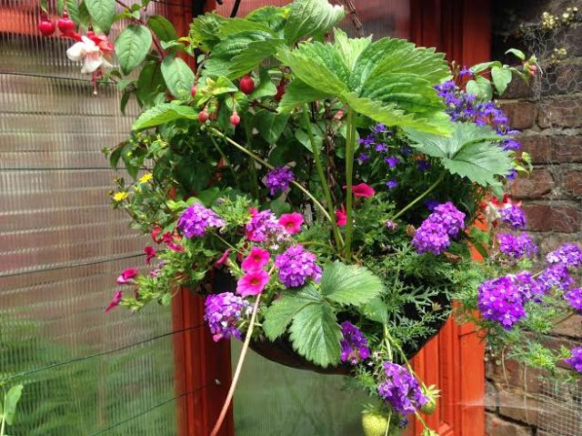 Strawberries do well in the hanging baskets