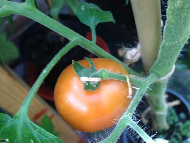 'Moneymaker' tomato. The first tomato of the season for me!